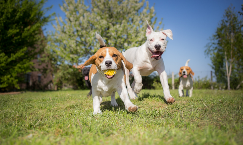 Hemp CBD: How Do Dogs Benefit From It?